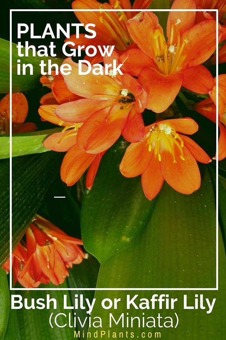Bush Lily or Kaffir Lily