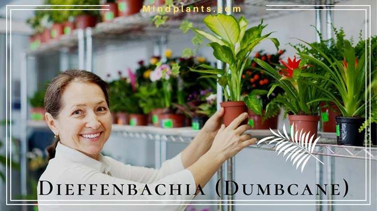 Dumbcane Dieffenbachia