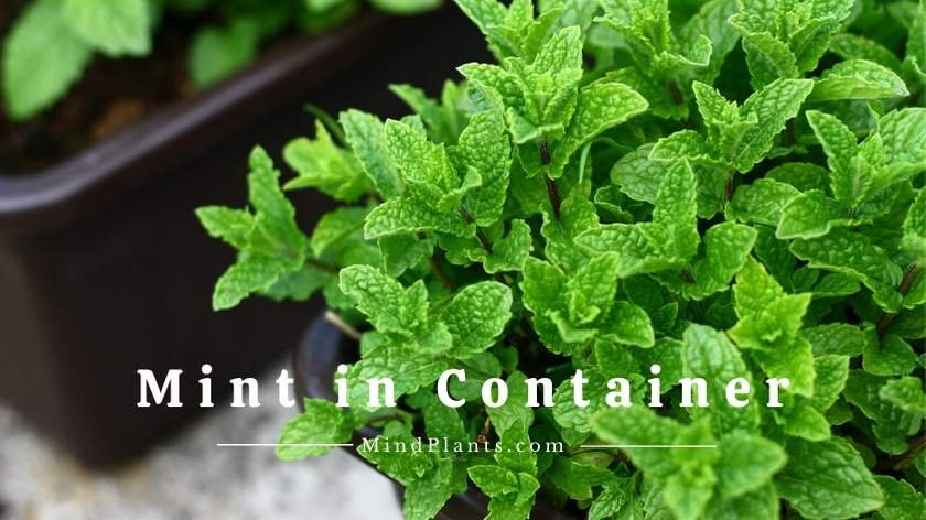 Growing Mint in Container
