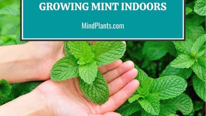 Grow Mint Indoors