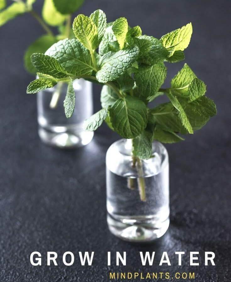 Grow Mint in Water