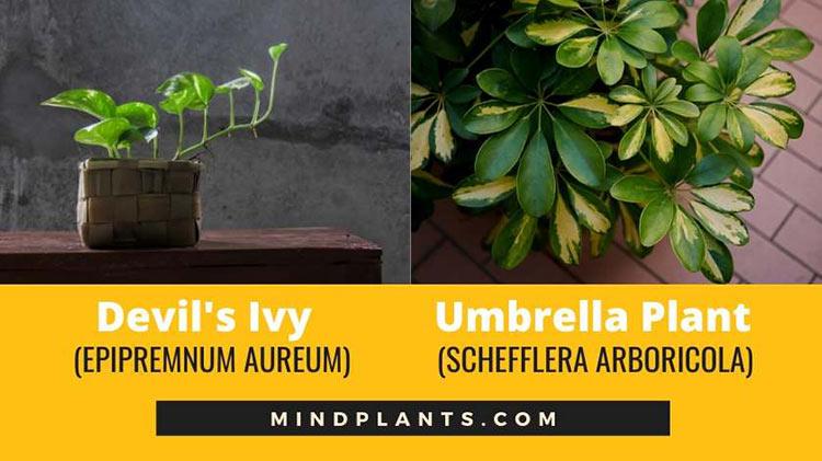 Money plant and Umbrella Tree