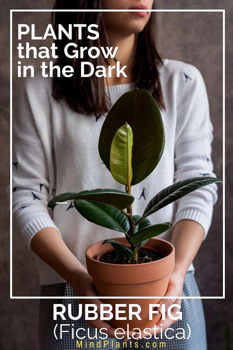 Ficus elastica plant grows in dark