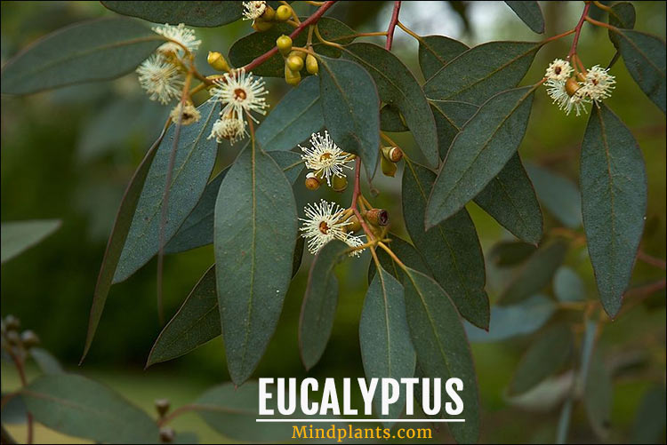 Eucalyptus keeps spiders away