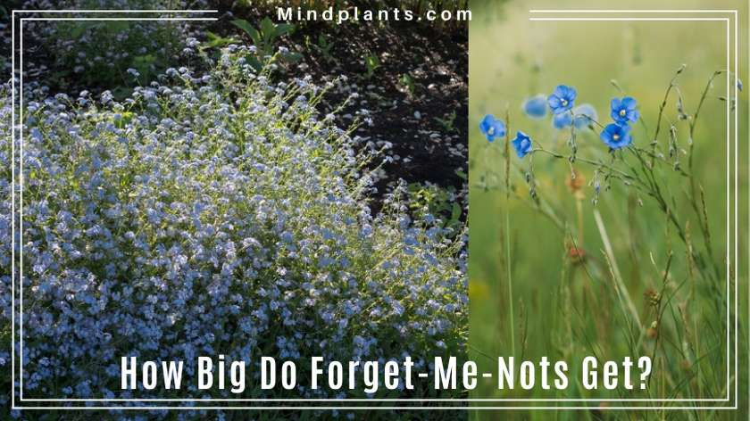 Size of forget-me-not flowers