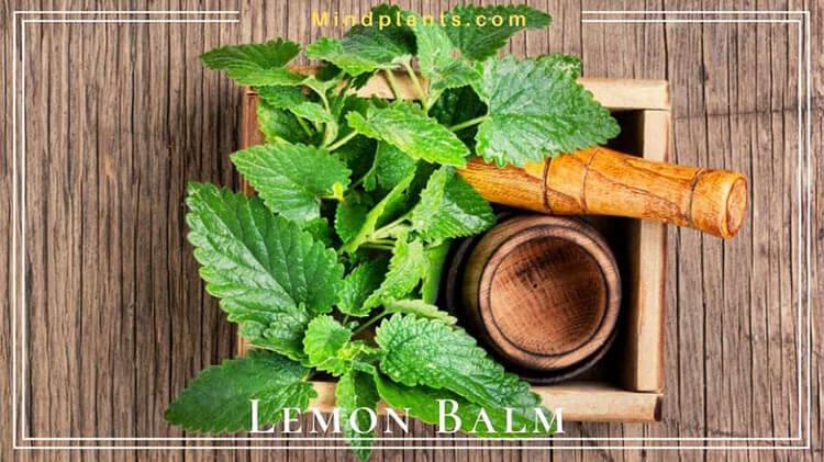 Lemon balm to repel spiders