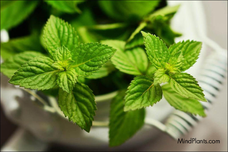 Peppermint keeps spiders away
