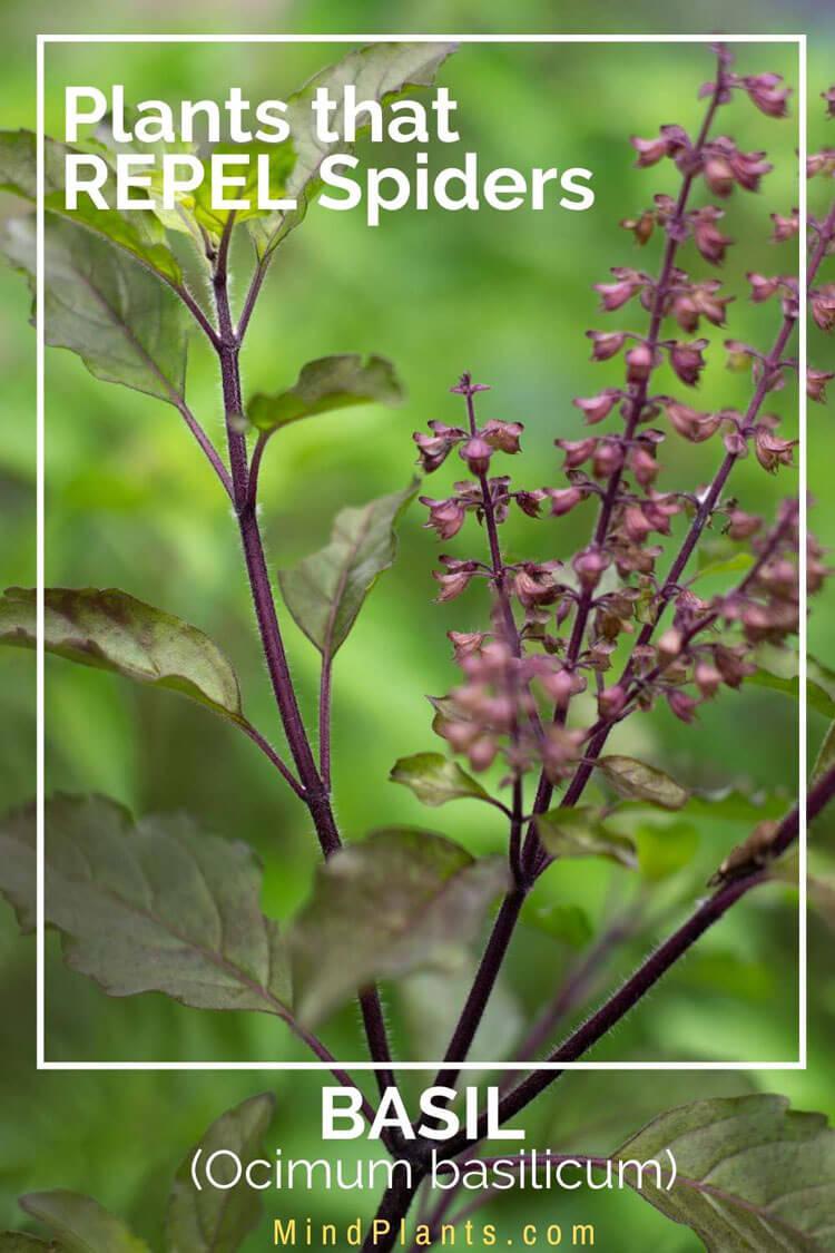 Basil plants that keep spiders sawy