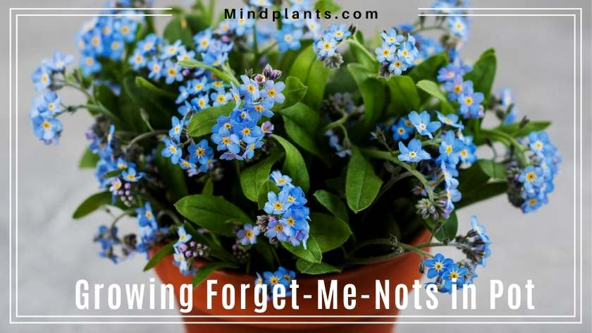 Grow forget-me-nots in pot