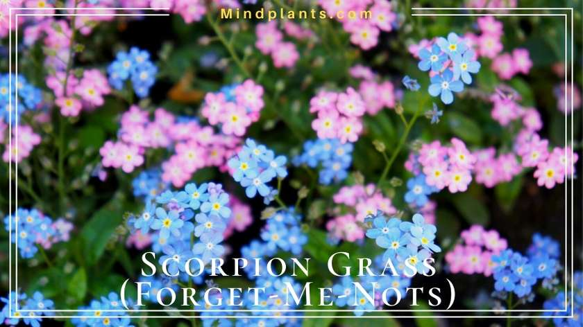Scorpion Grass (True Forget-Me-Nots)
