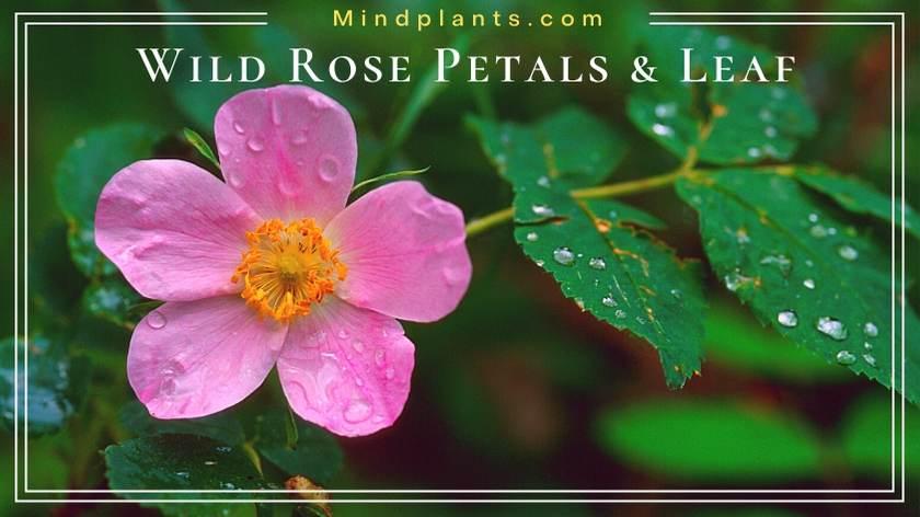 Wild rose petals and leaf