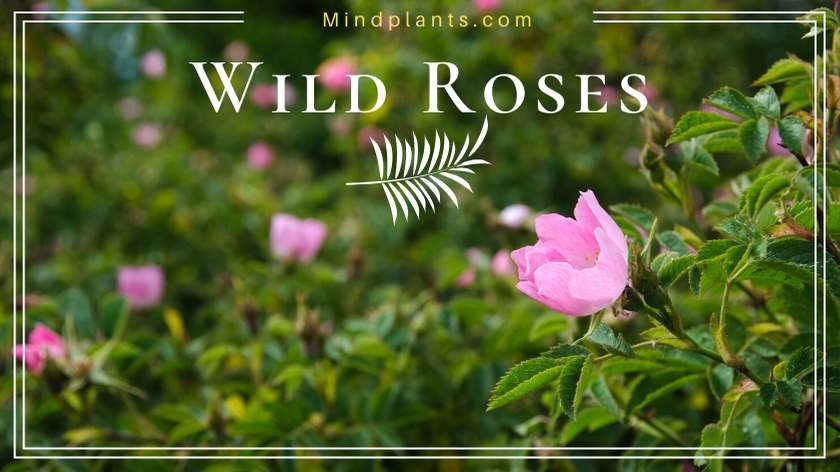 Types of Wild Roses