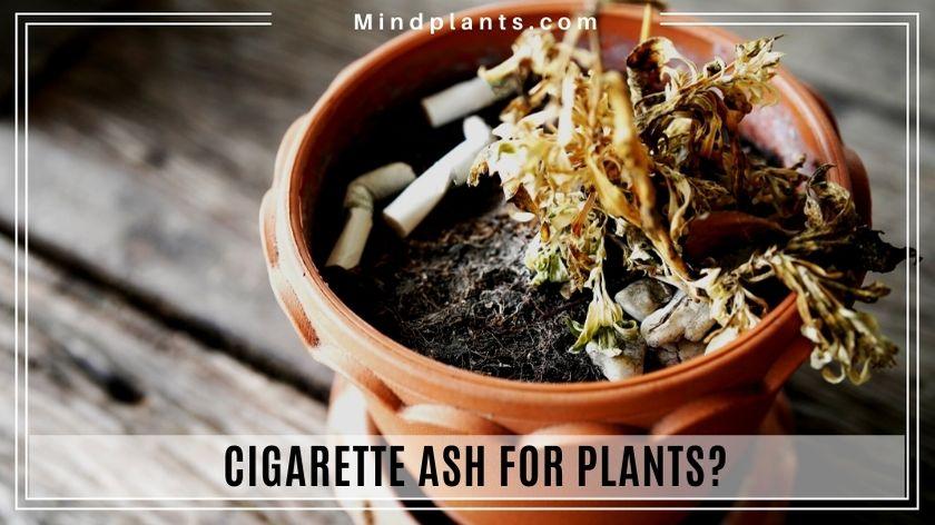 Image: Is cigarette ash good for plants?