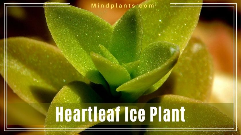 Heart Leaf Ice Plant