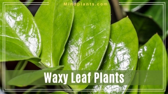 Plants with Waxy Leaves