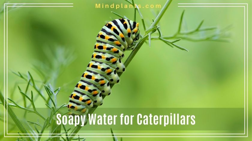Can you kill caterpillar with soapy water?