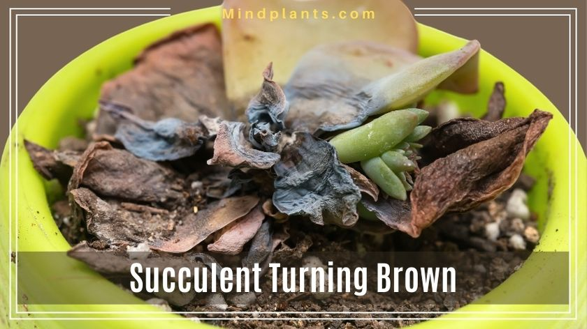Succulent Leaves Turning Brown