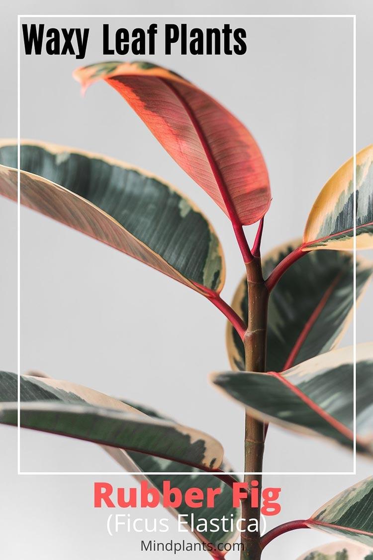Waxy Leaf plant - Rubber fig