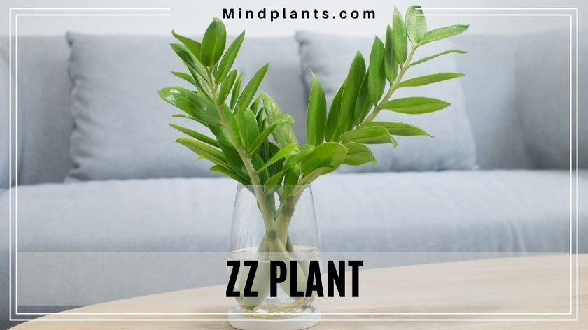 Zanzibar gem ZZ Plant (Zamioculcas Zamiifoliais)