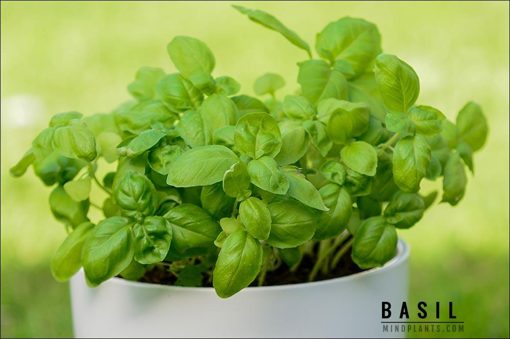 Basil in Self-watering Pot
