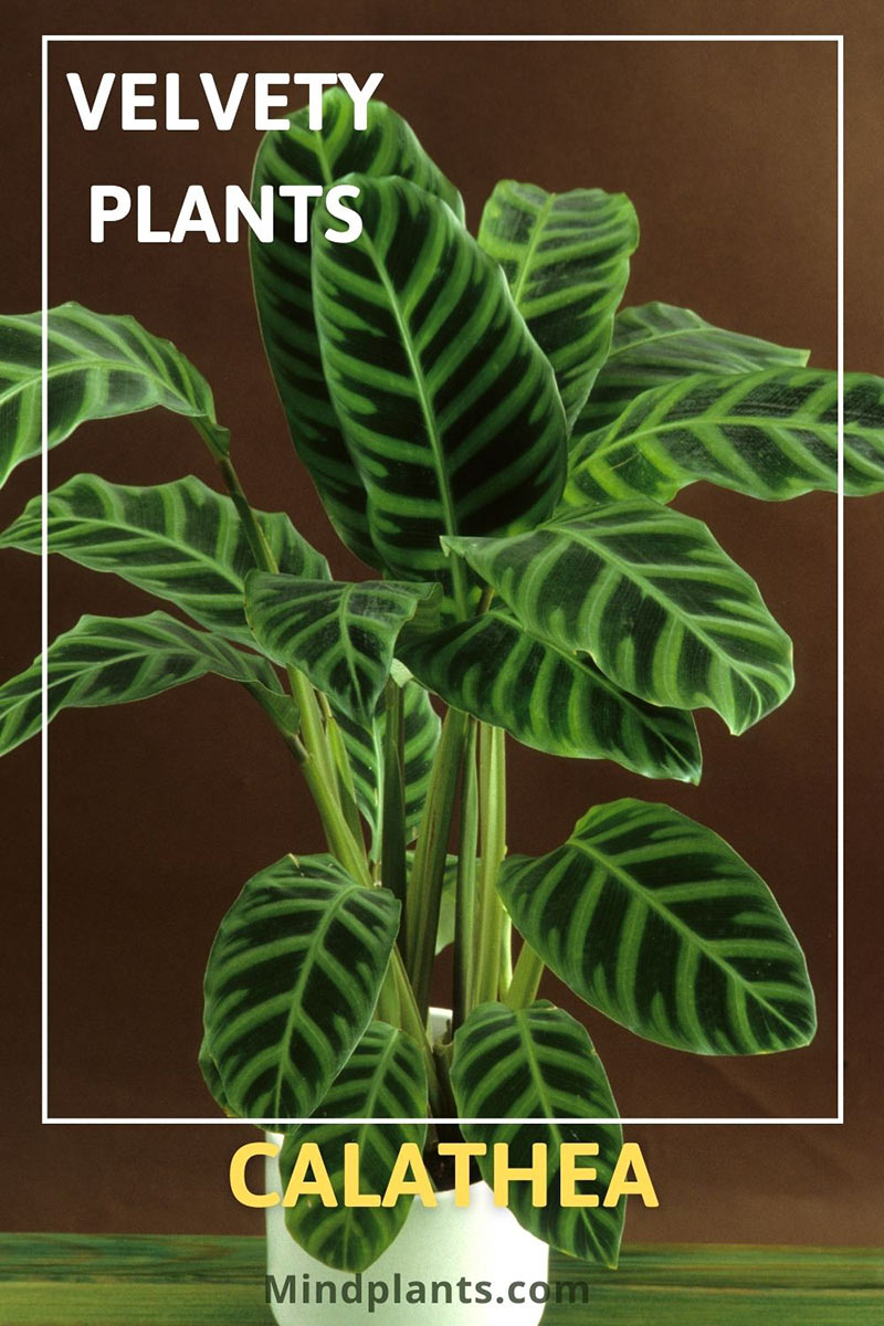 Calathea plant with large velvety leaves