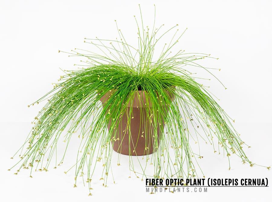 Fiber Optic Plant (Isolepis Cernua)