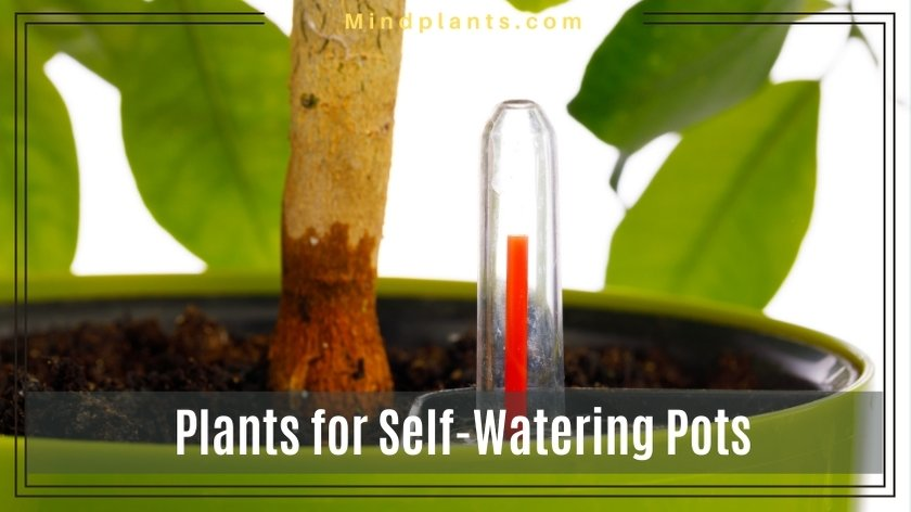 Plants for self watering plants